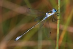 Lestes sponsa